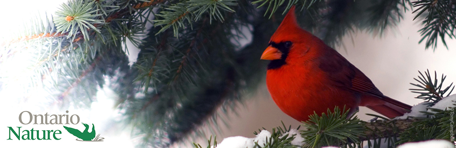 northern cardinal in a spruce tree