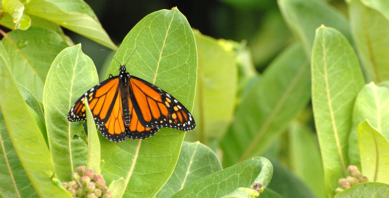 monarch butterfly milkweed