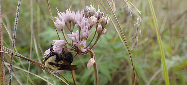 post prescribed burn bumble bee nodding onion Pelee