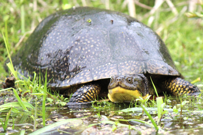 Blanding's turtle by Tracy Parker